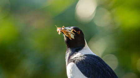 Australian Magpie with captured food