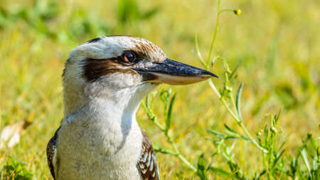 Laughing Kookaburra in Australia with green background