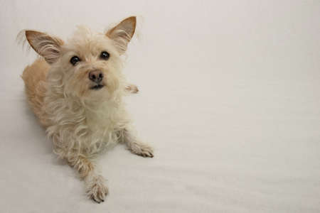 small terrier dog Reklamní fotografie - 36247407