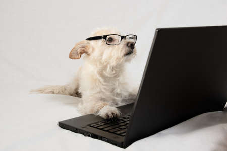 Terrier wearing glasses and working at laptop Stockfoto