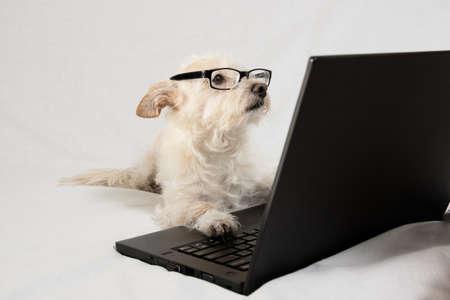 Terriër dragen van een bril en het werken op de laptop Stockfoto