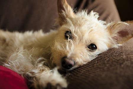wispy: Close-up of tan terrier with wispy fur