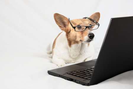 Cardigan Welsh Corgi wearing glasses and looking at laptop Stock Photo