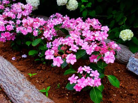 bigleaf hydrangea: Flowering pink hortensias