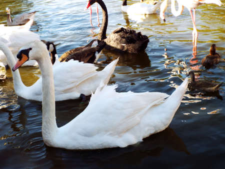 white swan and ducks