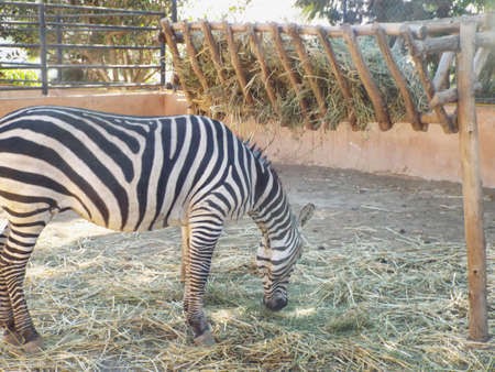 Zebre Eats in Zoo Banque d'images