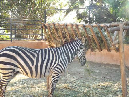Zebre Stands in Zoo