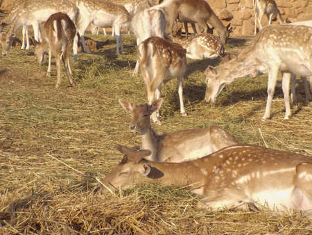 White tailed Deer on Zoo in Africa, Morocco Stock Photo