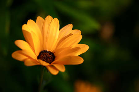 arvensis: Calendula marigold