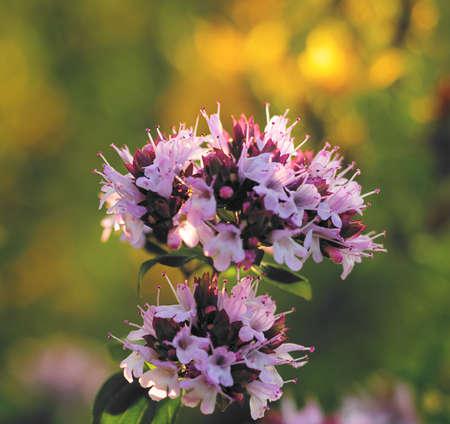 melissa: Melissa flowers in sunlight