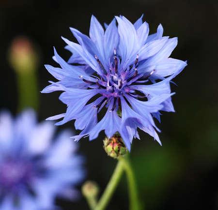 centered: A bright blue cornflower centered Stock Photo