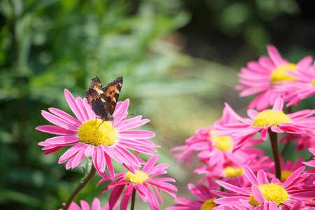 entomological: Aglais butterfly on a flower
