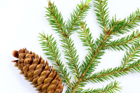 outgrowth: Branches of fir with cone isolated on a white background