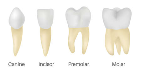 The 4 Types of Teeth
