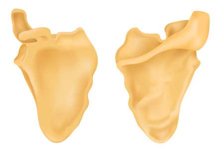 The scapula of bone human