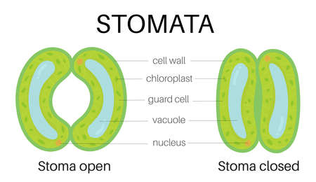 Structure of stomata
