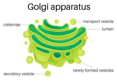 Structure de l'appareil de Golgi