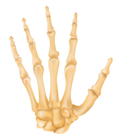 ้hand bone anatomy