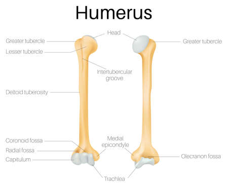 The humerus bone Illustration