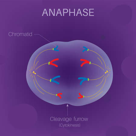 The Cell Cycle - Anaphase Ilustrace