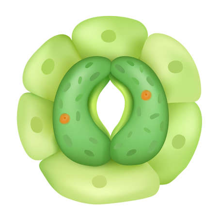 The stomata are small pores in the leaf epidermis that can be opened. Vector Illustration