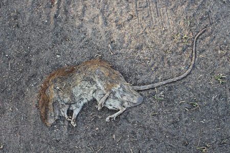 dead rat: rat was crushed remains of the dead