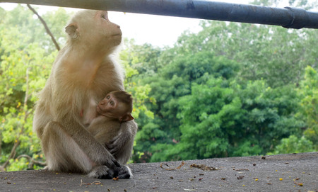 Monkey mother is raising a baby monkey.