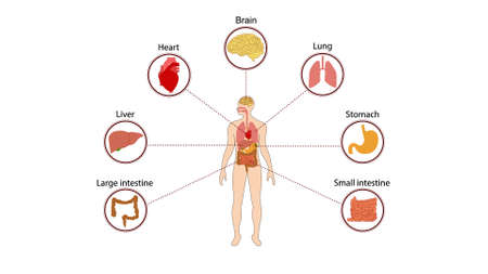human organs internal diagram, Body of human internal organs, brain, heart, lungs, liver, stomach, intestine Illustration
