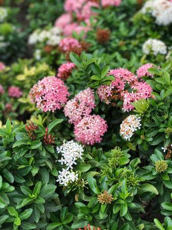 Ixora flower Stock Photo