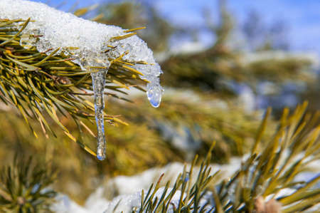 View of pine branch with snow and icicle Stock Photo