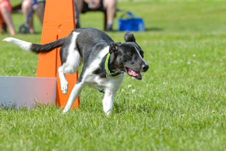 July 2015, - Selkirk town, MB, Canada - Dogs of different breeds participated in the competition jumping over hurdles