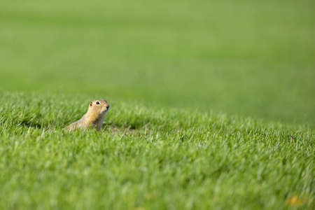 Curious gopher peeking outside its home in summer
