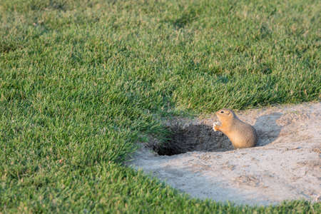 sitting on the ground: Curious gopher peeking outside its home in summer