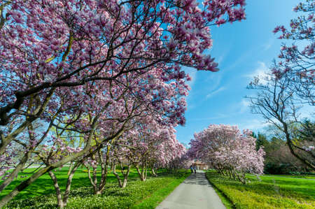 Beautiful outdoor scenery of Magnolia Trees blossom in Niagara Falls town, Ontario province, Canada