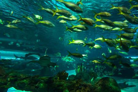 scorpionfish: Exotic marine animals swimming in an aquarium Stock Photo