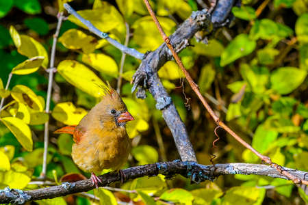Red bird northern cardinal sits on a branch in the bushes