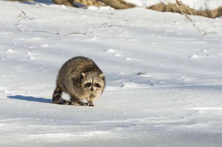 Closeup raccoon in winter in Canada