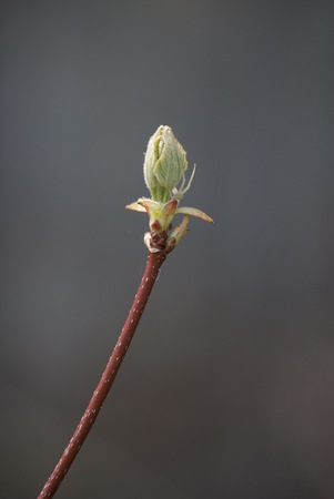A sprouting bud during spring months.
