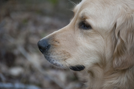 side profile: Side profile shot of a middle aged golden retriever. Stock Photo