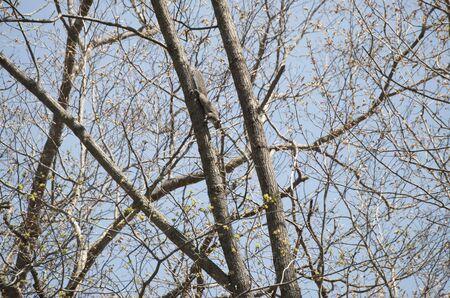 descending: Tree Squirrel Descending Head First