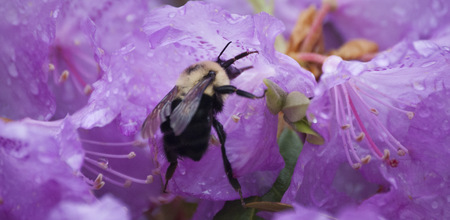 A bumble-bee pollinating a pink flower during Spring months. Фото со стока