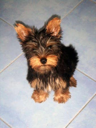 yorshire puppy Banque d'images