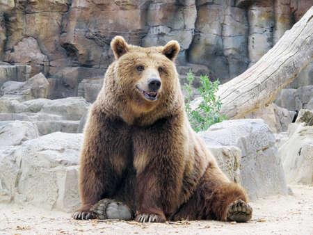 oso blanco: oso pardo