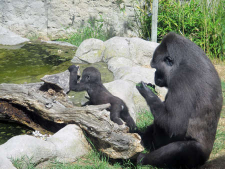 gorilla with her baby eating grass photo