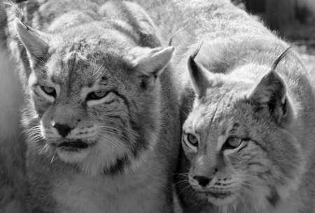 iberian: Iberian lynx