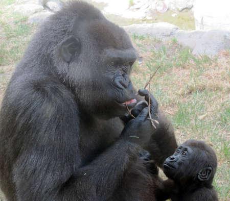 siamang: gorilla