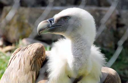 a large bird of prey: vultures