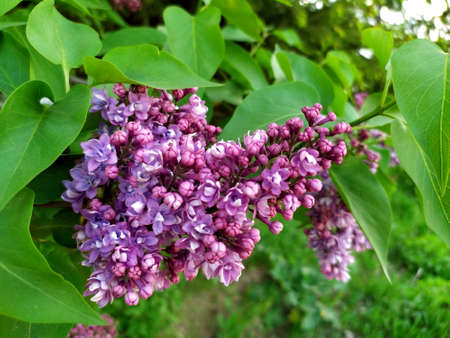 Lilac flowers on a branch. Lilac blooms. Green Tree with flowers. There are green leaves in the background. Spring flowers. Plant. Map. Background. Texture. Copy the place for text. Lilac Stock Photo