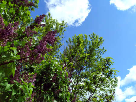 Purple flowers on a branch. Lilac blooms. A green tree with flowers. In the background is a blue sky with white clouds. Spring flowers. Plant. Background. Texture. Lilac. Copy space for text
