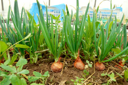 Onions are grown on soil in homesteads. Onion plantation in the garden agriculture. Planting onions in the garden. Vegetables. The concept of eco-friendly food.